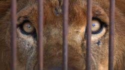 El león que no pudo