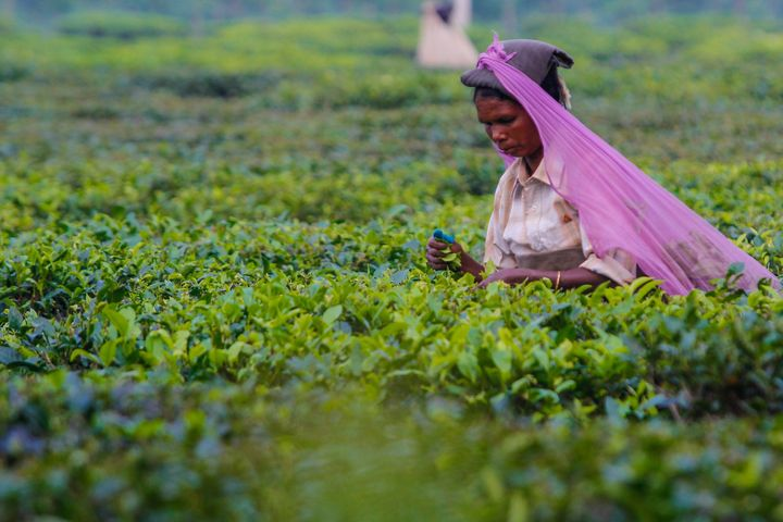 A woman picks organic tea by hand in the Simulbari Tea Garden plantation in India, harvesting one of the world's best and most famous qualities of Darjeeling tea.