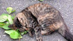ネコがマタタビに体をこすりつける理由が判明。陶酔状態との関連性は…