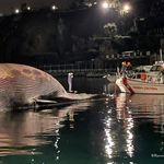 Η μεγαλύτερη φάλαινα που έχει εντοπιστεί ποτέ στη Μεσόγειο βρέθηκε νεκρή στην