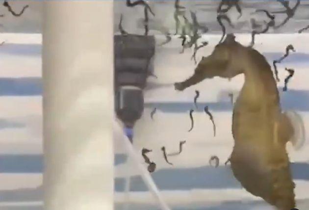 Αρσενικός ιππόκαμπος που απειλείται με εξαφάνιση γεννά live δεκάδες