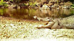 Un rarissime crocodile d'eau douce observé en