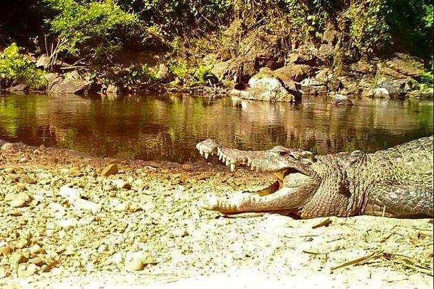 Thaïlande: un crocodile du Siam, en voie d'extinction, aperçu dans un