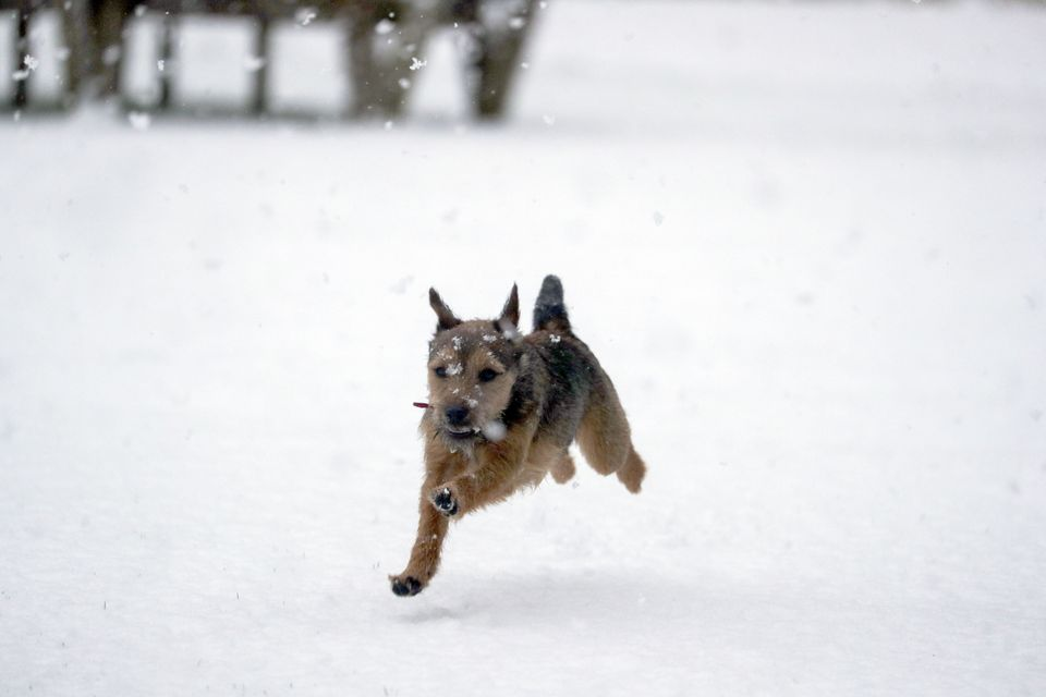 Winston, an 8 month old Border Terrier, enjoys the snow for the first time near Windsor,