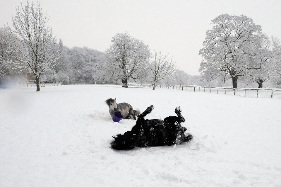Ponies roll in the snow in a field in Helperby, northern
