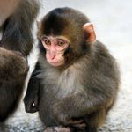 サルの選抜総選挙、キュートな新スター誕生。赤ちゃんザルの「エール」が1位に