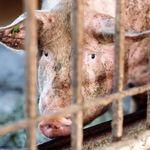 L214 dénonce un élevage de porcs breton, la coopérative reconnaît des images