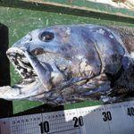 【新種】未知の深海魚、駿河湾で見つかる。「ヨコヅナイワシ」と命名