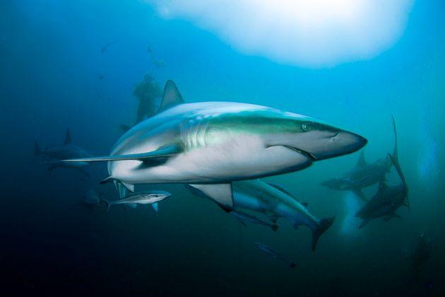 Certaines espèces de requins océaniques sont au bord de