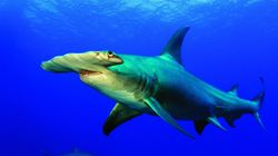 Shark And Ray Populations Have Fallen 71% Since 1970, Study