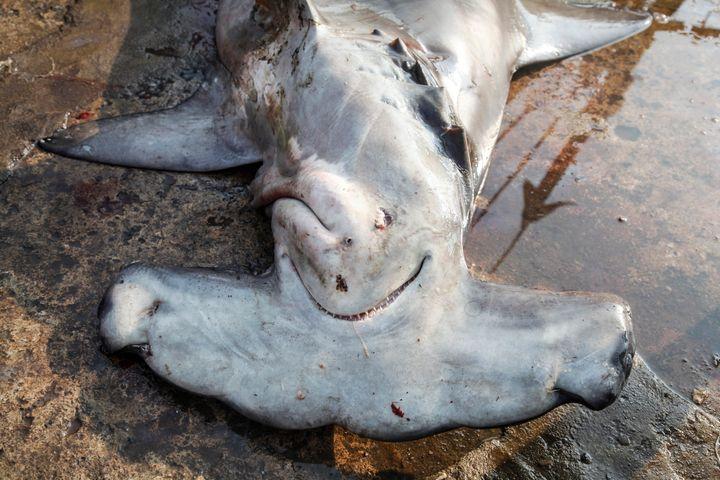 Three species of sharks — the oceanic whitetip sharks, scalloped hammerhead sharks and great hammerhead sharks —
