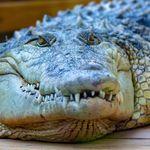 Un Australien survit à l'attaque d'un crocodile... en desserrant sa mâchoire à mains