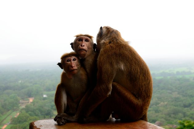 Macaco mokey in Ruins of the Sigiriya rock fortress with view at surrounding jungle, cultural triangle,...
