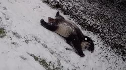 Need Some Joy? Pandas Sliding Starfish-Style In Snow Will Likely Do The