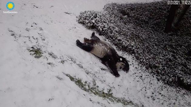 雪の坂道を大の字で滑り落ちるパンダ