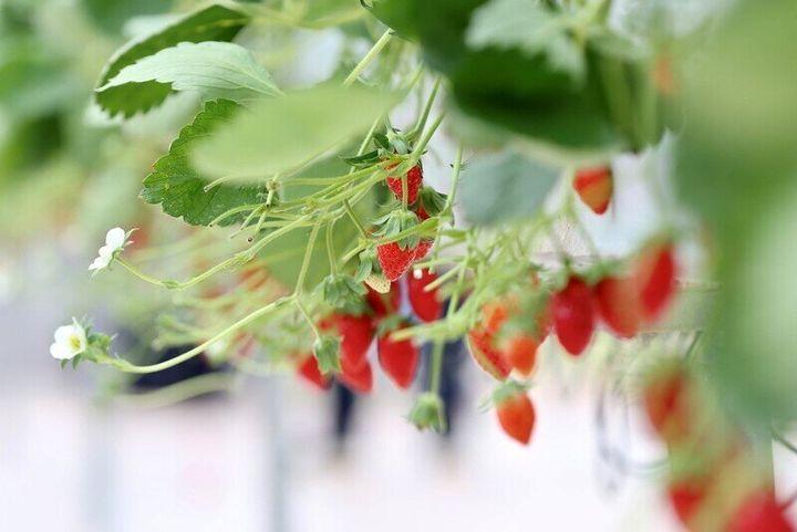 자동화 시스템이 구축된 온실에서 재배된 딸기.
