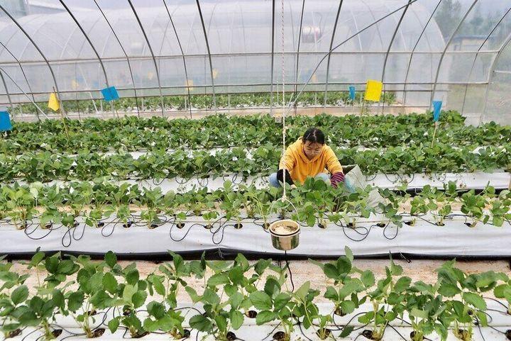 농민팀의 온실 재배 모습.