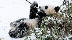 Pandas Play In The Snow At Washington