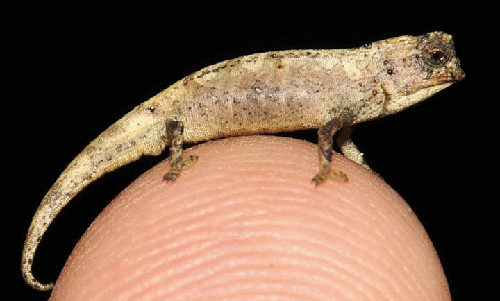 Brookesia nana males are smaller than their female counterparts.