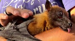Statler The Geriatric Fruit Bat Takes The Internet By