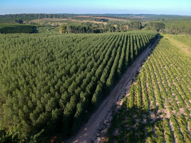 Aerial view of a field planted with eucalyptus seedlings in