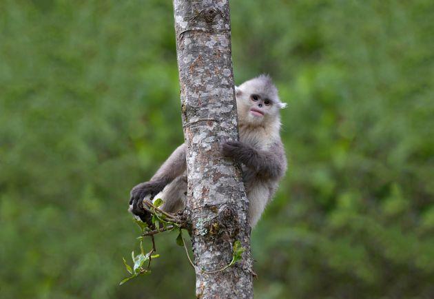 Ρινοπίθηκοι: «Οι άγριοι των βουνών» που κινδυνεύουν με