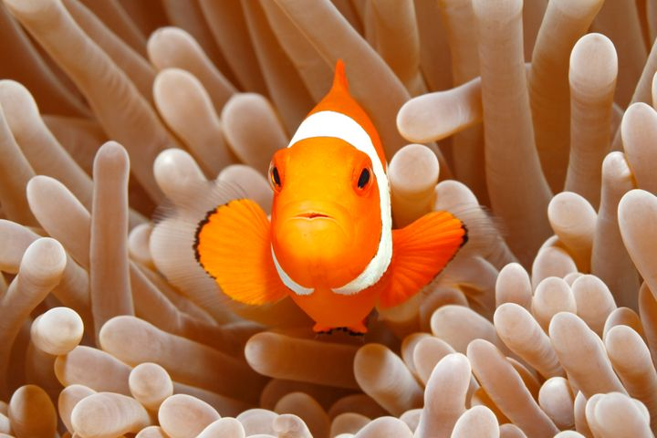 Clown Anemonefish, Amphiprion percula, swimming among the tentacles of its anemone home. Uepi, Solomon Islands. Solomon Sea, Pacific Ocean