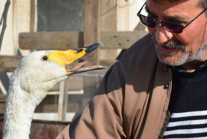 Recep Mirzan, a 63-year-old retired postman talks to Garip, a female swan that he rescued 37 years ago, in his farmhouse outs