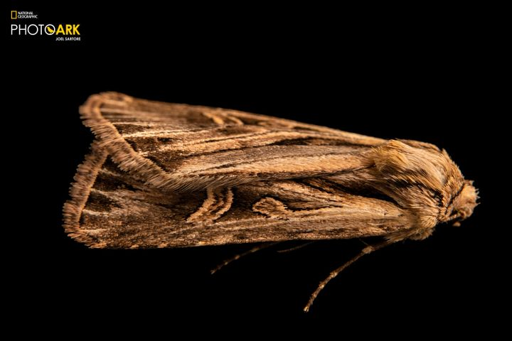 The long-toothed dart moth is the 11,000th species in the National Geographic Photo Ark.
