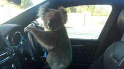 Koala Rescued After Causing 5-Car Pileup On Adelaide