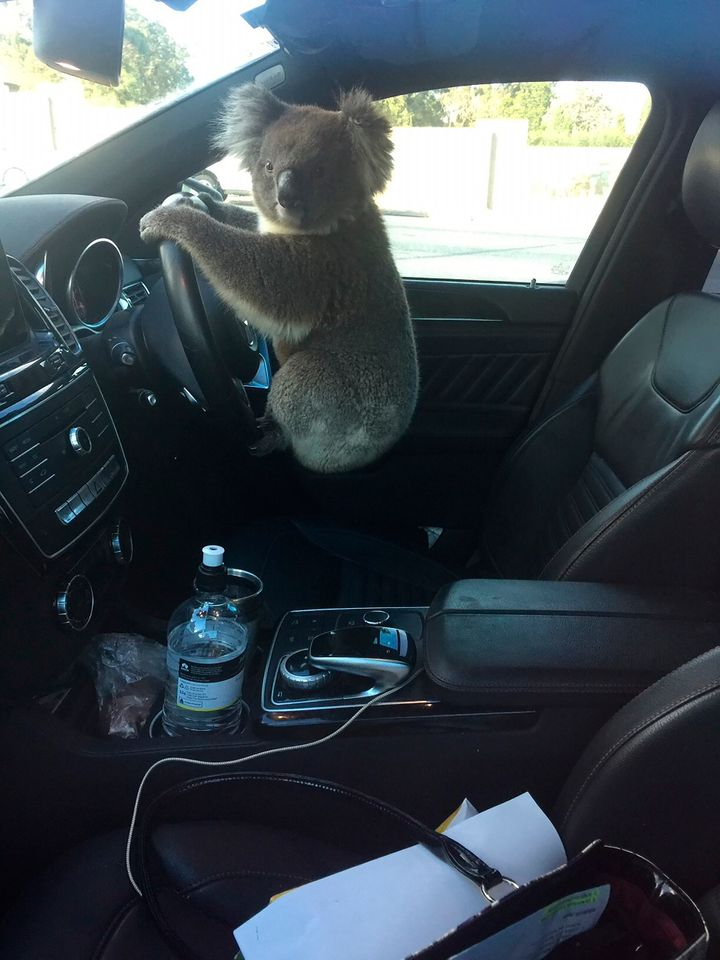 This photo released by Nadia Tugwell, shows a koala inside Tugwell's car in Adelaide, Australia on Monday, Feb. 8, 2021. The koala has been rescued after causing a five-car pileup while trying to cross a six-lane freeway in southern Australia.