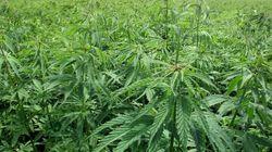 Cannabis: les parlementaires pour un assouplissement rapide de la réglementation sur le