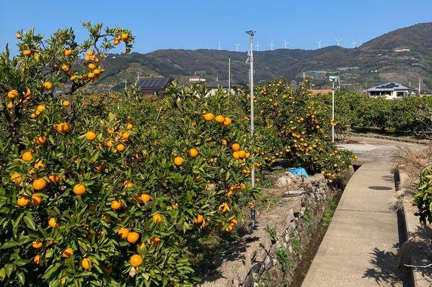 見渡す限りのミカン畑が美しい、有田川町