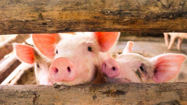 Dans l'étude de l'université de Pursue, les cochons ont démontré des capacités...