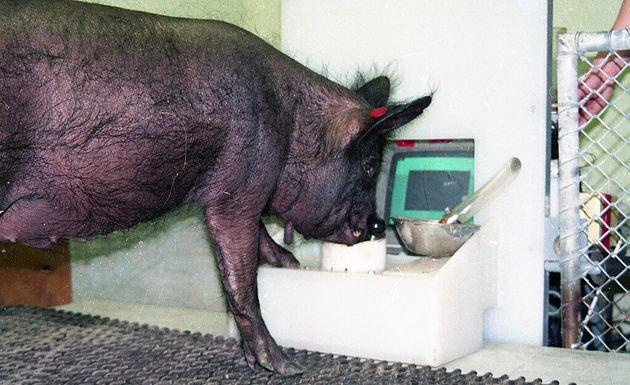 Un cochon manipulant un joystick pour jouer à un jeu