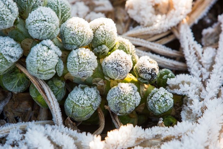 Look for Brussels sprouts with tight leaves.