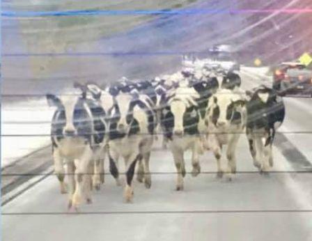 道路を走る牛の大群