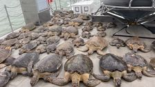 Dramatic Photos Show Thousands Of Stunned Sea Turtles Rescued From Texas Storm