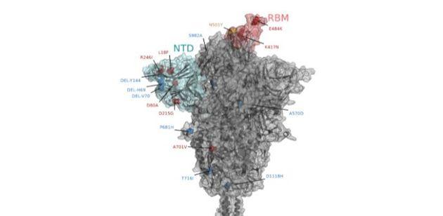 Modello tridimensionale della proteina Spike del virus SARS-CoV-2 che si lega al recettore ACE2 sulle...