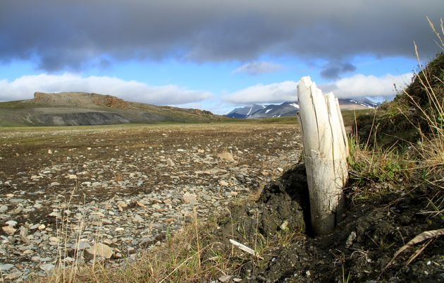 Une défense de mammouth laineux émergeant du permafrost en