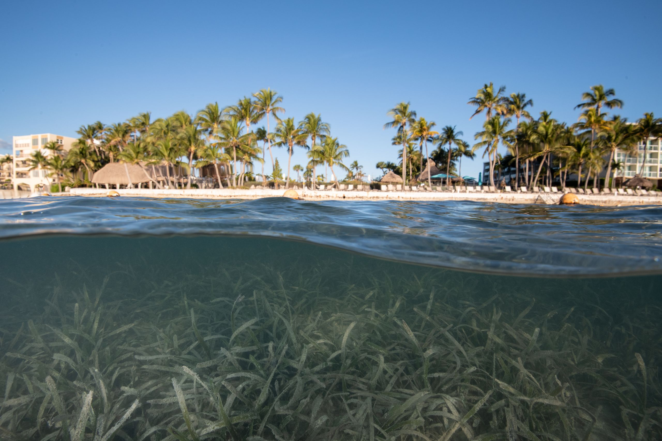 Seagrass near the Sands of Islamorada Ocean Front Hotel, Islamorada, Florida. Coastal development, and the pollution it cause
