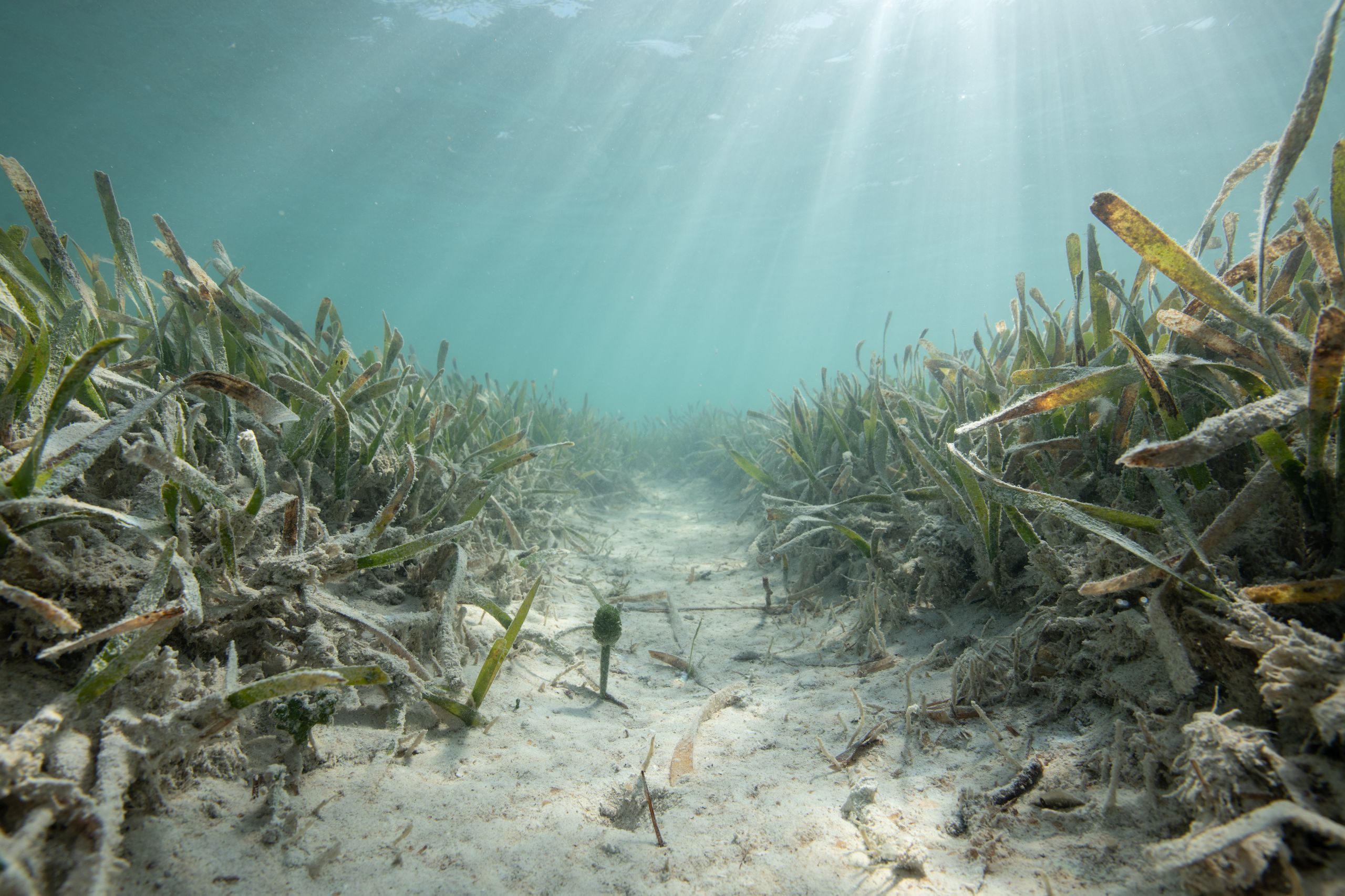 A propeller scar from a boat in a seagrass meadow composed of turtle grass in the Lignumvitae Key Aquatic Preserve, Islamador