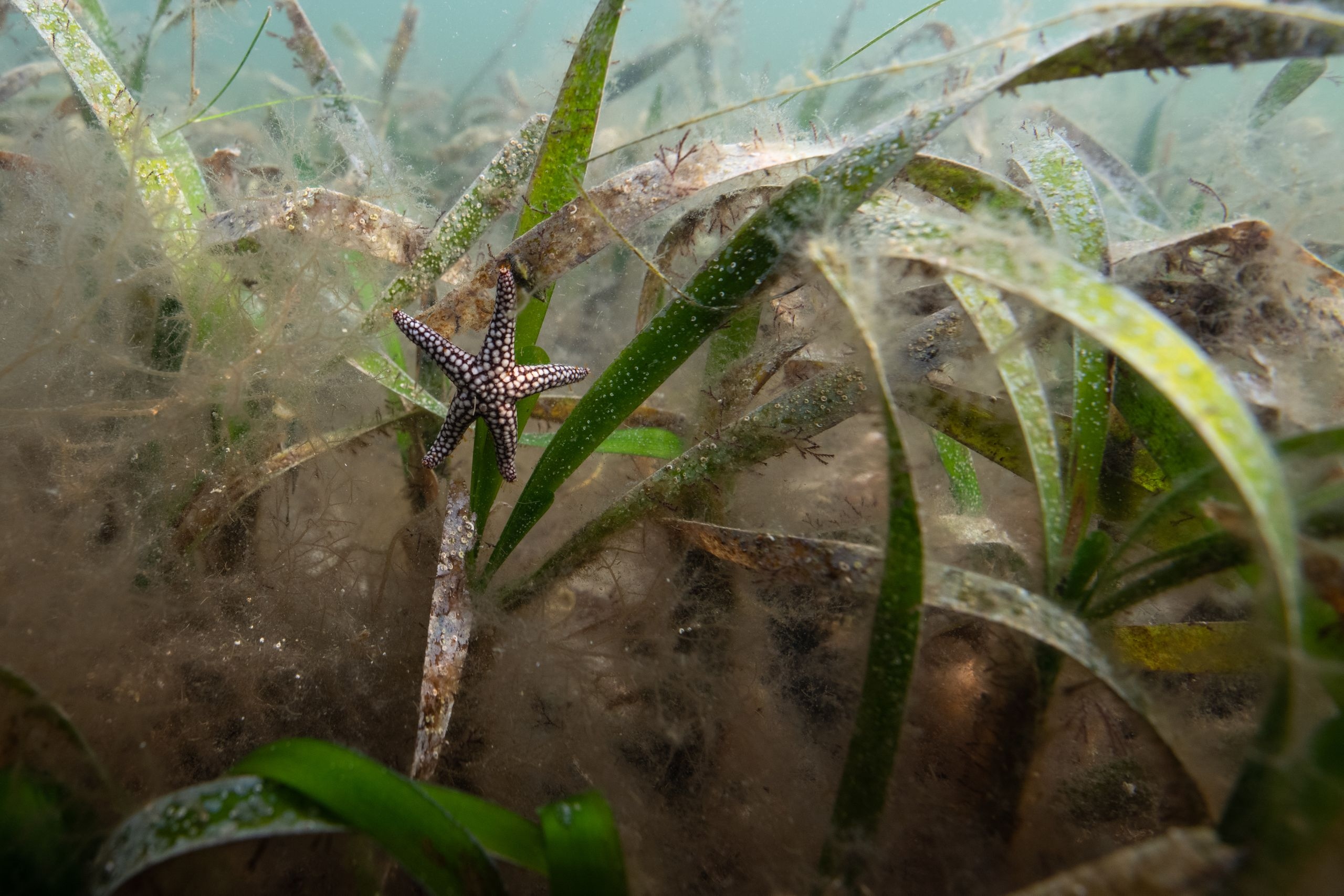 A small-spine sea star hangs onto a blade of turtle grass in Holmes Beach, Florida.