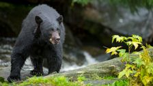 Alaska Woman Attacked By Bear While Using Outhouse