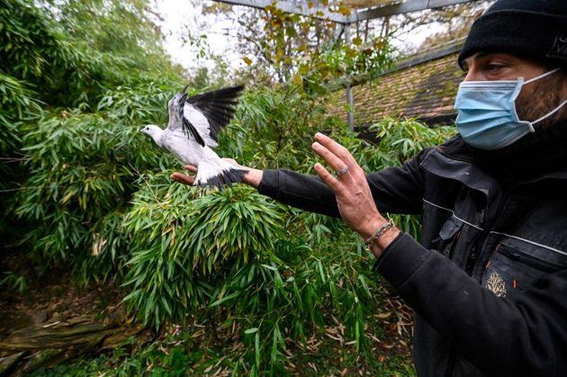 Un pigeon vacciné contre la grippe aviaire