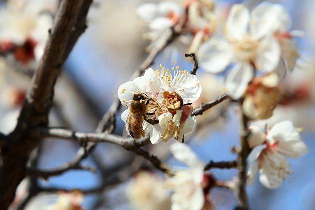 대구의 낮 기온이 20도를 넘어 완연한 봄 날씨를 보인 21일 오후 대구의 한 주택가 활짝 핀 매화에 꿀벌이 날아들어 부지런히 꿀을 따고