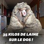 Baarack, le mouton sauvage secouru avec 35 kilos de laine sur le