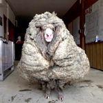 «Opération de sauvetage» pour un mouton qui trimballait 35 kg de