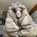 毛で前がメエエエないよ。34キロの羊毛に覆われた羊がオーストラリアで保護される