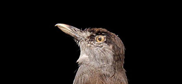 Un spécimen de Malacocincla perspicillata ou Akalat à sourcils noirs découvert par...